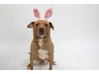 Adopt Baron a Pit Bull Terrier, Mixed Breed