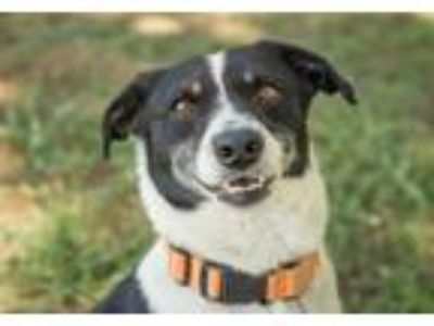 Adopt ELVIS a Tricolor (Tan/Brown & Black & White) Border Collie / Mixed dog in