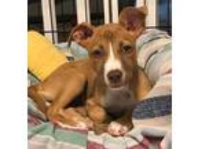 Adopt Freda a Brown/Chocolate - with White Pit Bull Terrier / Mixed dog in