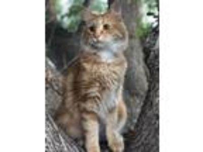 Adopt Cheeto a Orange or Red Tabby Domestic Mediumhair / Mixed cat in Hemet