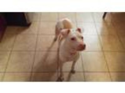 Adopt ZCL Honey a White - with Tan, Yellow or Fawn American Pit Bull Terrier /