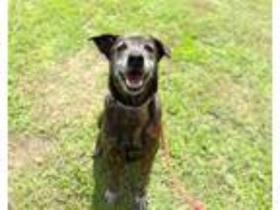 Adopt Key a Labrador Retriever, Shepherd