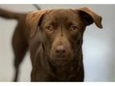 Adopt Luke a Labrador Retriever / Mixed dog in Canton, GA (25544328)