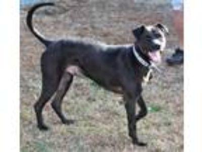 Adopt Louie a Black Labrador Retriever