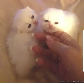 Standard Napoleon/minuet Kittens