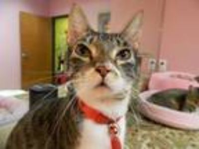 Adopt Cosmo Girl a Brown Tabby Domestic Shorthair (short coat) cat in