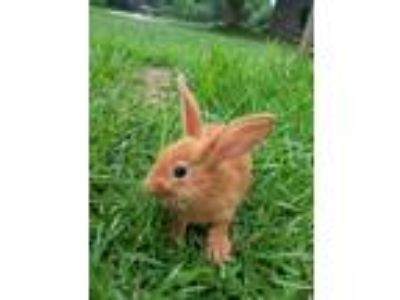 Adopt Blossom a Bunny Rabbit