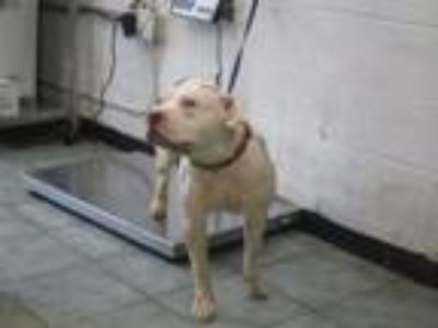 Adopt Vincent a Pit Bull Terrier, Mixed Breed