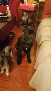 Cane Corso PUPPY FOR SALE ADN-96052 - Puppy needs new Home