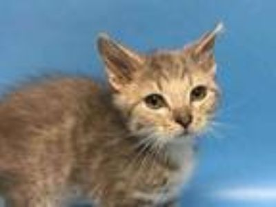 Adopt Jasmine a Gray or Blue Domestic Shorthair / Mixed cat in Golden Valley