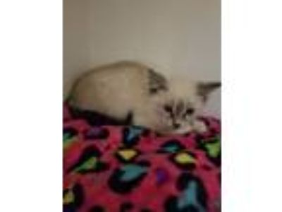 Adopt Lionel a Domestic Shorthair / Mixed cat in Silverdale, WA (25919130)