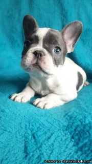 TGHHF French Bulldog Puppies