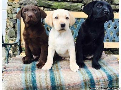 Protective Labrador Retriever puppies available