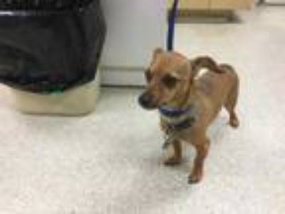 Adopt Dog a Tan/Yellow/Fawn - with Black Dachshund / Mixed dog in Jurupa Valley