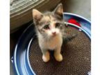 Adopt Carly Simon: Nobody Does it Better a Calico