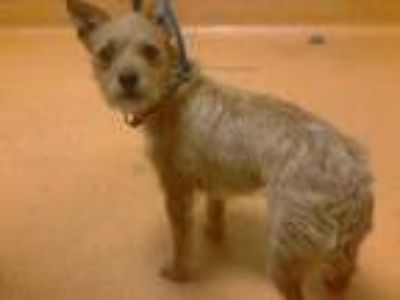 Adopt THOMAS a Brown/Chocolate Terrier (Unknown Type, Medium) / Mixed dog in