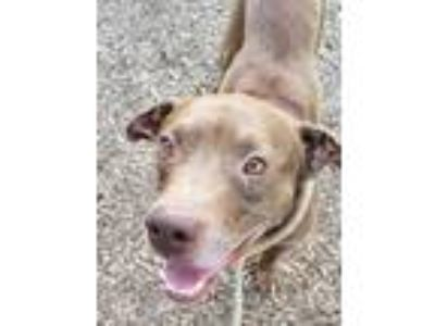Adopt Didgeridoo a Pit Bull Terrier, Mixed Breed