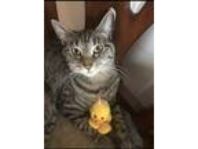 Adopt Gigi and Bella a Spotted Tabby/Leopard Spotted American Shorthair / Mixed
