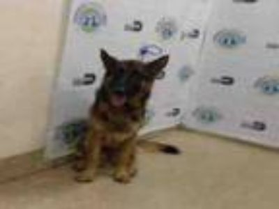 Adopt ARIES a German Shepherd Dog