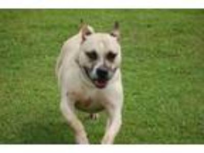 Adopt Francisco a Pit Bull Terrier
