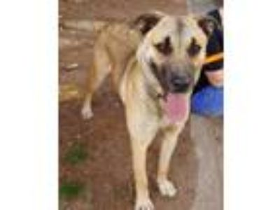Adopt Tom a Retriever, Shepherd