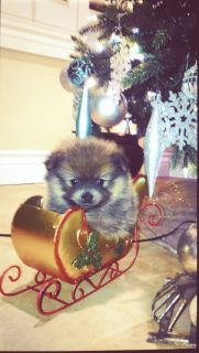 AKC Pomeranians Puppies