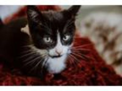Adopt Clarence a Domestic Short Hair