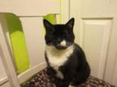 Adopt Berton a Black & White or Tuxedo Domestic Mediumhair (medium coat) cat in