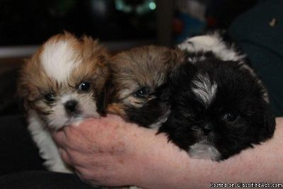 MOST WELCOMING SHIH TZU PUPPIES FOR ADOPTION