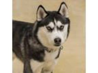 Adopt Meeko 2 a Siberian Husky, Mixed Breed
