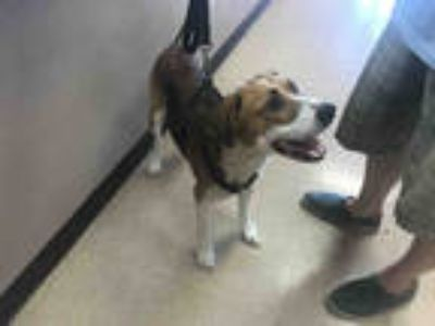 Adopt MAGGIE a Tan/Yellow/Fawn - with White Beagle / Mixed dog in Garland