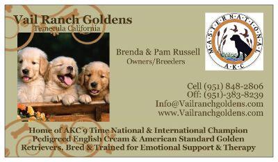 Golden Retriever PUPPY FOR SALE ADN-72228 - AKC 9x Champion Bloodlines Golden Retrievers
