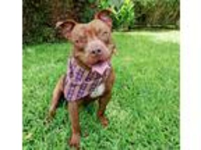 Adopt RUDY a Red/Golden/Orange/Chestnut - with White Staffordshire Bull Terrier