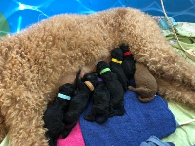 Poodle (Standard) PUPPY FOR SALE ADN-87785 - Paytonrsquos standard poodles