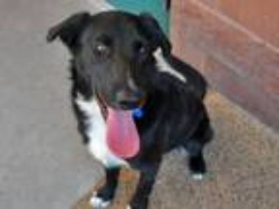 Adopt GRANT a Labrador Retriever, Mixed Breed