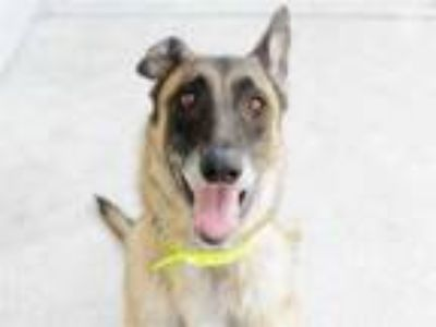 Adopt PENNE PASTA a Tan/Yellow/Fawn - with Black German Shepherd Dog / Mixed dog