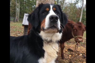 Craigslist Dogs For Adoption Classified Ads In Cookeville