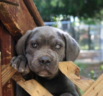 Cane Corso PUPPY FOR SALE ADN-78810 - 3 Sweet Corso Puppies Left