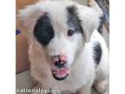 Adopt Duke - pup! a Great Pyrenees, Collie