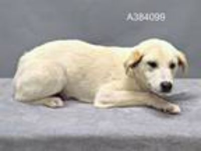 Adopt a White Labrador Retriever / Great Pyrenees / Mixed dog in St.