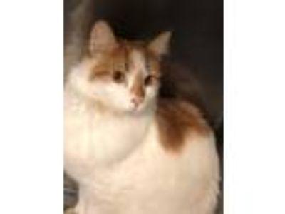 Adopt Tj a Domestic Shorthair / Mixed cat in Birdsboro, PA (27525269)