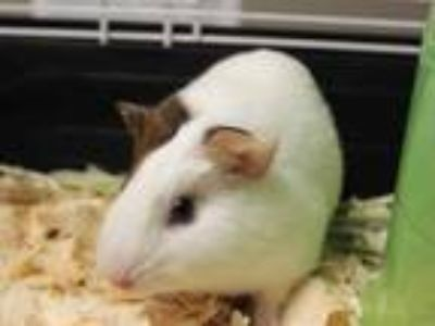 Adopt JENNY a Black Guinea Pig / Mixed small animal in Fort Wayne, IN (25897682)