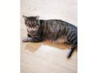Adopt Harley a Brown Tabby Domestic Shorthair / Mixed (short coat) cat in St.