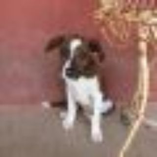 Bernie American Staffordshire Terrier - Pit Bull Terrier Dog
