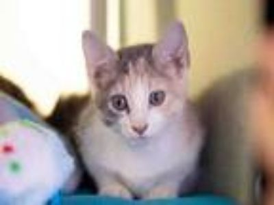Adopt FOXY a Domestic Short Hair
