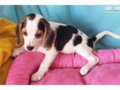 Tricolorted Beagle Puppy! microchipped
