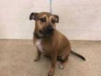 Adopt COOPER a Tan/Yellow/Fawn Black Mouth Cur / Mixed dog in Tavares