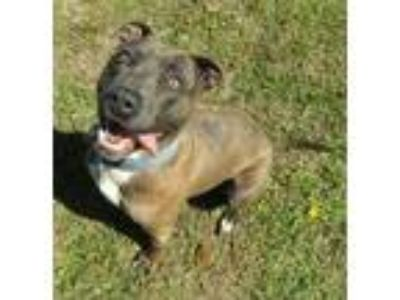 Adopt Billy Ray a American Staffordshire Terrier