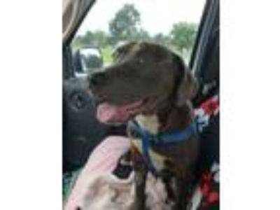 Adopt Buddy a Gray/Silver/Salt & Pepper - with White Pit Bull Terrier / Labrador