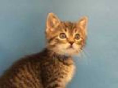 Adopt Thor a Brown or Chocolate Domestic Mediumhair / Mixed (short coat) cat in